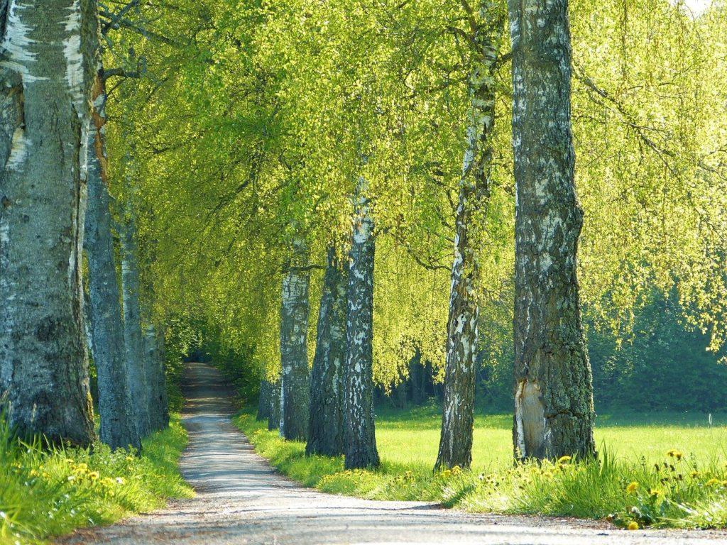 trees, birch, avenue